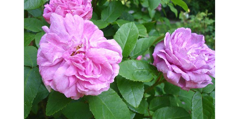 Moos-Rose (Rosa Muscosa)