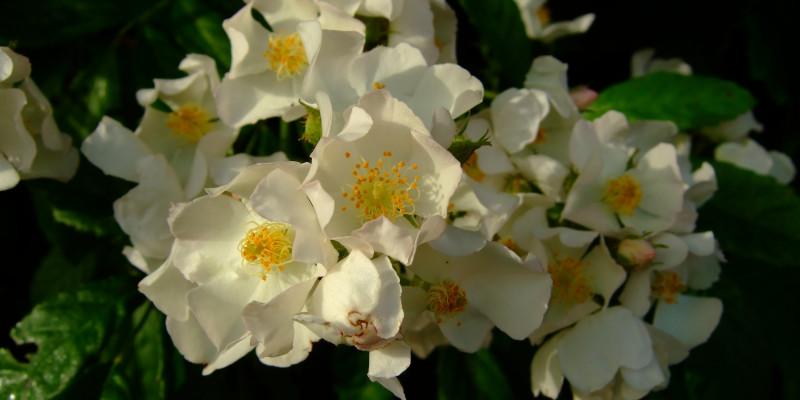 Vielblütige Rose (Rosa multiflora)