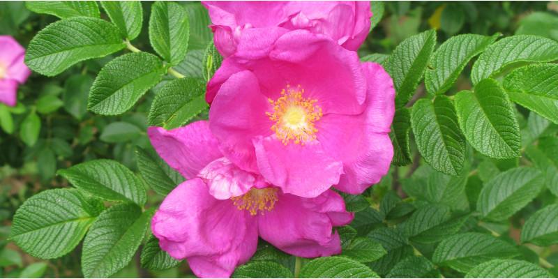 Kartoffel-Rose (Rosa rugosa)