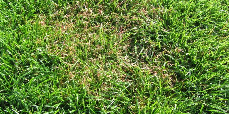 Rotspitzigkeit (Laetisaria fuciformis)