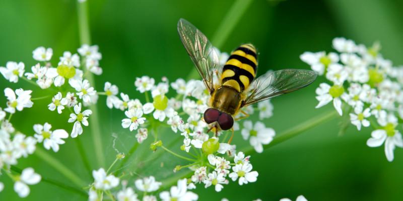 Eine Schwebfliege auf einer Blüte.