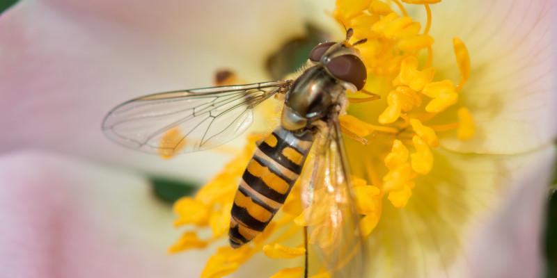 Nahaufnahme von einer Schwebfliege auf einer Kirschblüte