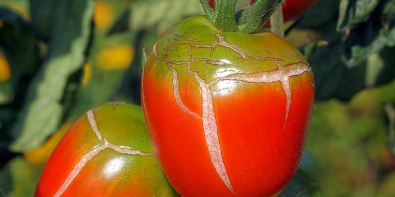 Geplatzte Tomatenfrüchte