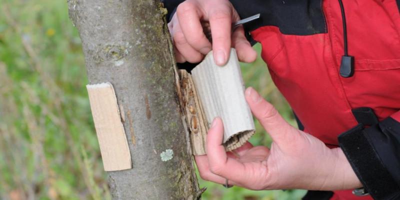 Wellpappenring gegen Apfelwickler wird an einem Stamm eines Apfelbaums angebracht