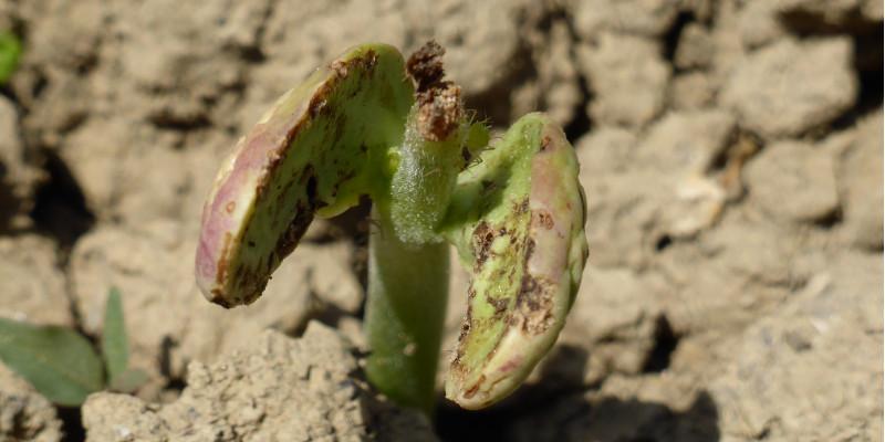 Wurzelfliegenlarven fressen an den Wurzeln und Blättern von Keimlingen