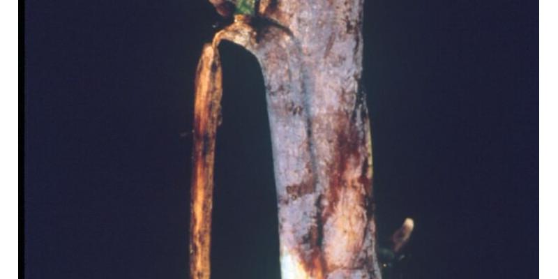 Himbeerrute mit blauvioletten Rindenflecken