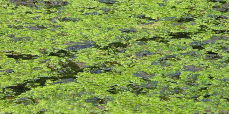 Algenteppich auf Gewässer