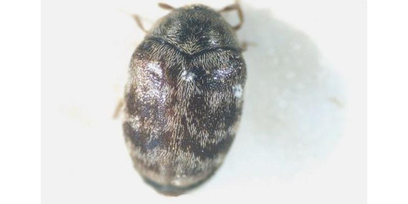 Imago des Australischen Teppichkäfers