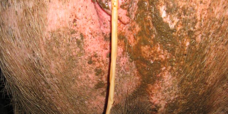 Spulwurm der aus dem Anus eines Schweins heraushängt