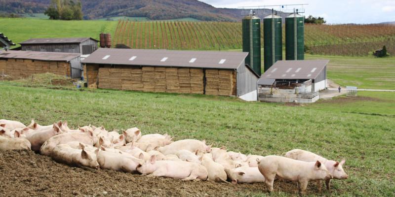 Schweine in der Natur