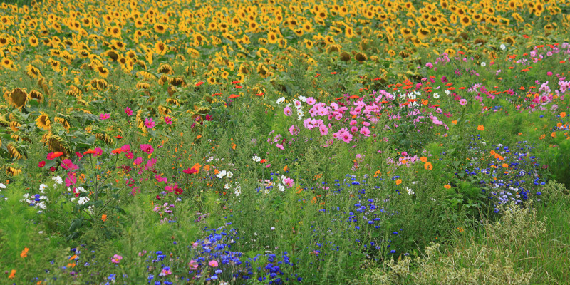 Meadow with different blossoming flowers
