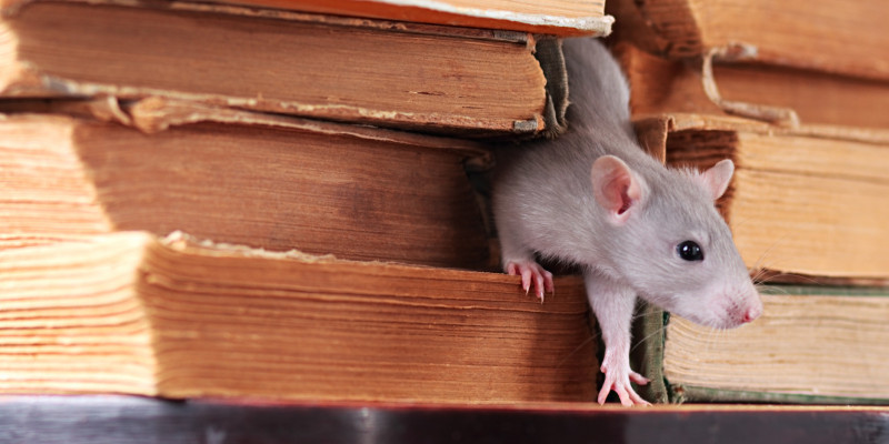 Rattenbefallbekämpfung wird durch das Infektionsschutzgesetz geregelt.