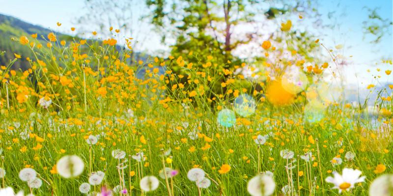 bunt blühende Sommerwiese