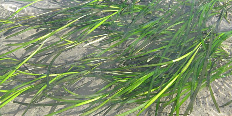 langes grasähnliches Gras unter Wasser