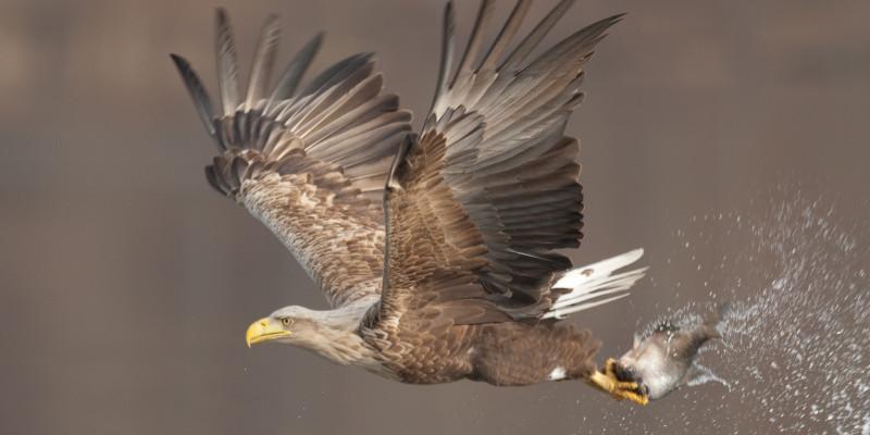 fliegender Seeadler mit einem Fisch in den Krallen