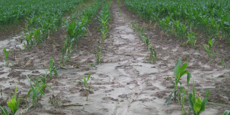 Photo of corn crop with soil erosion.