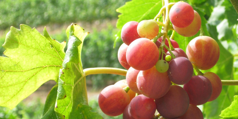Red grapes on a vineyard.