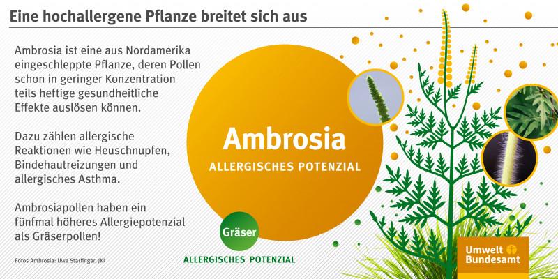 Infografik: Zeichnung einer Ambrosia-Pflanze mit gefiederten Blättern und gelben, ährenförmigen Blütenständen. Fotos zeigen Details, der Stängel ist abstehend behaart. Das allergische Potenzial von Ambrosia ist fünfmal höher als das von Gräsern