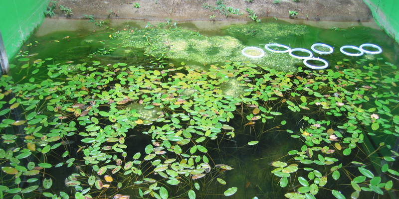 Control pond (19.9.2003) with strong Pondweed and Fadenalgenentwicklung