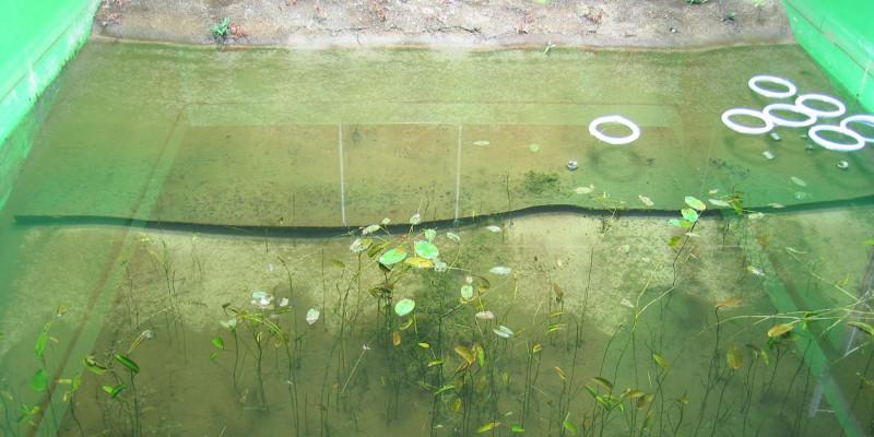 Teichbecken mit sehr spärlichem Laichkrautbewuchs und recht klarem Wasser