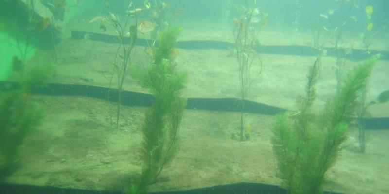 Unterwasseraufnahme, trübes Wasser, im sandigen Grund wachsen Wasserpflanzen