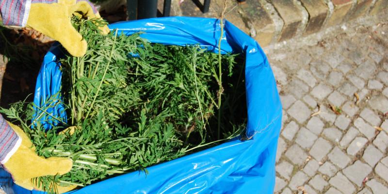 ausgerissene junge Ambrosiapflanzen werden mit Arbeitshandschuhen in einen großen blauen Müllsack entsorgt