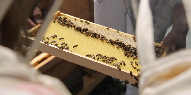 eine Person hält einen Holzrahmen mit einer mit Bienen besetzten Bienenwabe in der Hand.