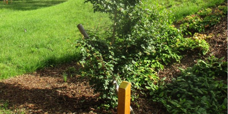 neugepflanzter Baum in einer Grünanlage, davor ein Pflock mit einer Plakette