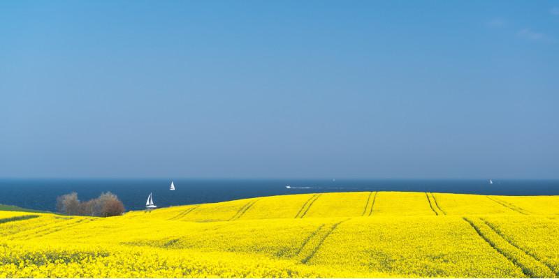 ein gelb blühendes Rapsfeld, im Hintergrund das Meer mit Segelbooten