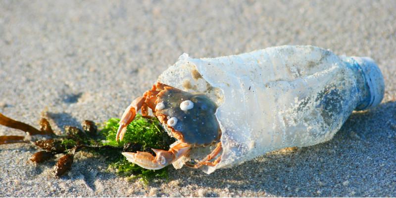 eine Strandkrabbe sitzt in der Öffnung einer halben leeren Plastikflasche, die am Strand als Müll liegt