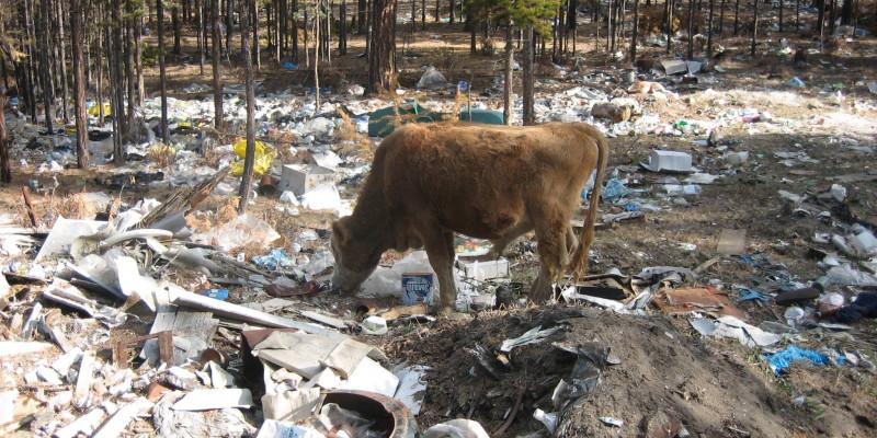 eine Kuh grast in einem völlig vermüllten Kiefernwald