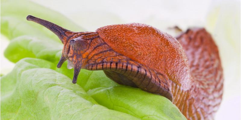 eine große, rötliche Nacktschnecke auf einem Salatblatt