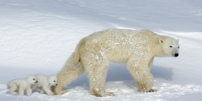 Eisbären mit Jungen
