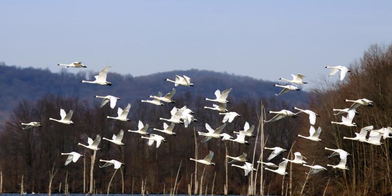Pfeifschwäne fliegen von einem See auf