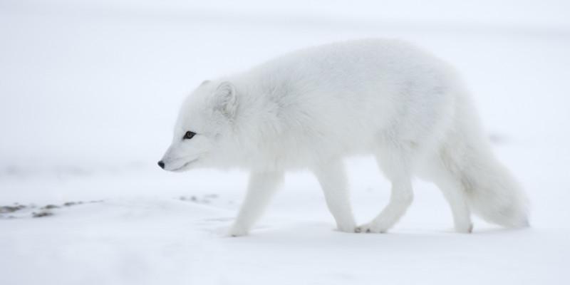 Polarfuchs auf der Jagd