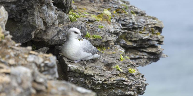 Eissturmvogel auf einem Felsen