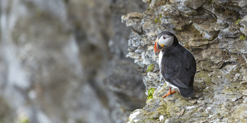 Papageientaucher auf einem Fels