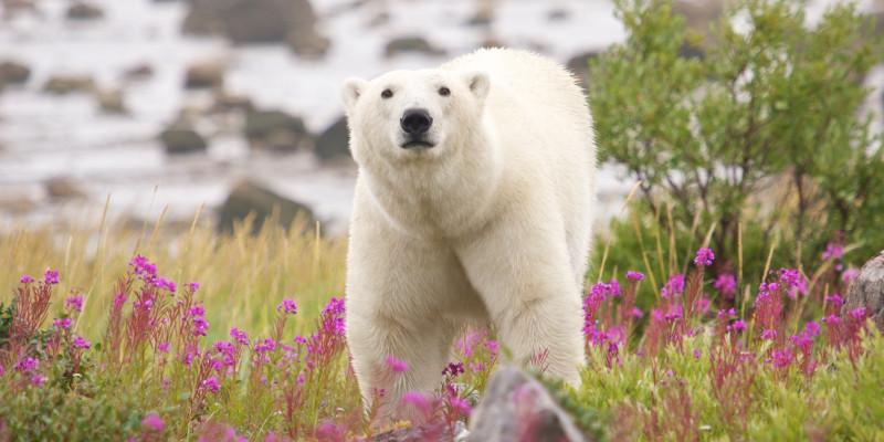 Eisbär in der arktischen Tundra