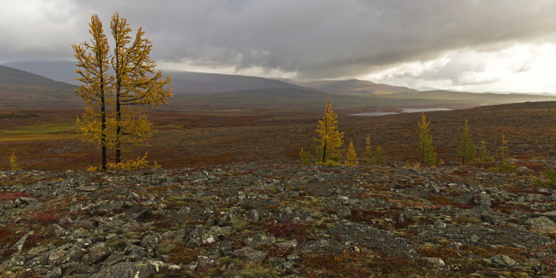 Vereinzelte Bäume in der russischen Tundra