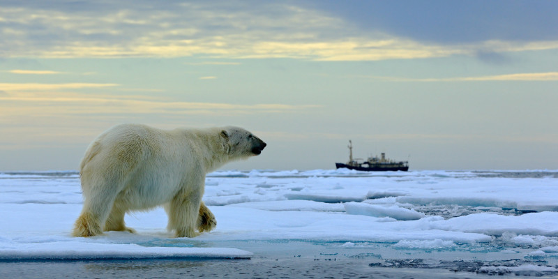 Vorbeilaufender Eisbär auf dem Packeis, im Hintergrund ein Eisbrecher