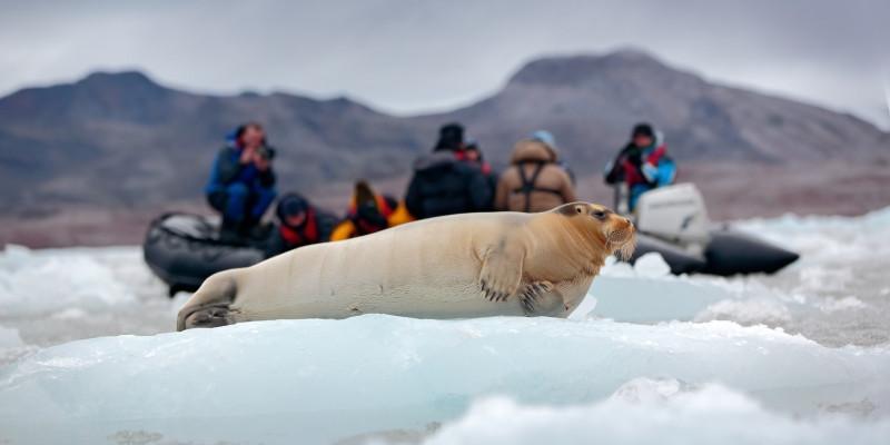 Bartrobbe als Fotomotiv für Touristen auf Spitzbergen, Norwegen