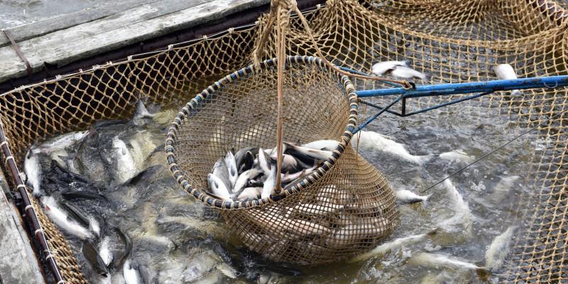 Lachsfang in der Arktis: Köcher mit gefangenen Fischen