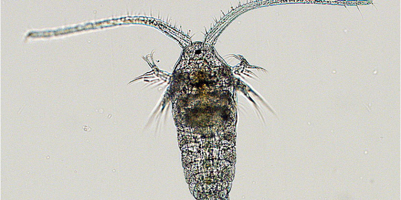 Ruderfüßler unter dem Mikroskop