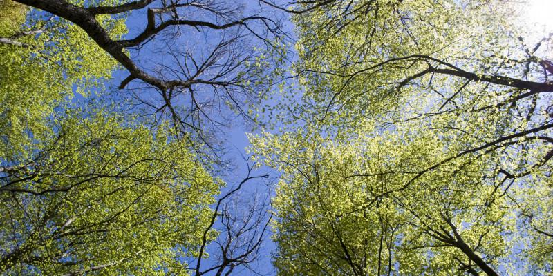 Blick von unten in den blauen Himmel durch Baumkronen
