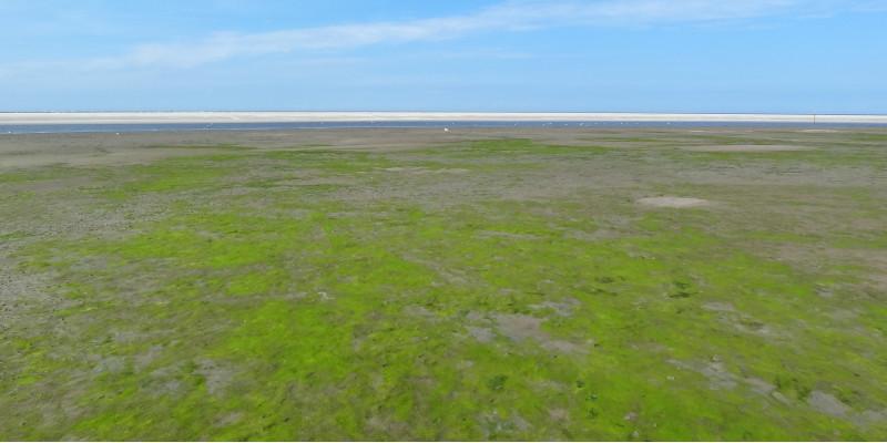 Grünalgenbewachsene Wattfläche auf Langeoog