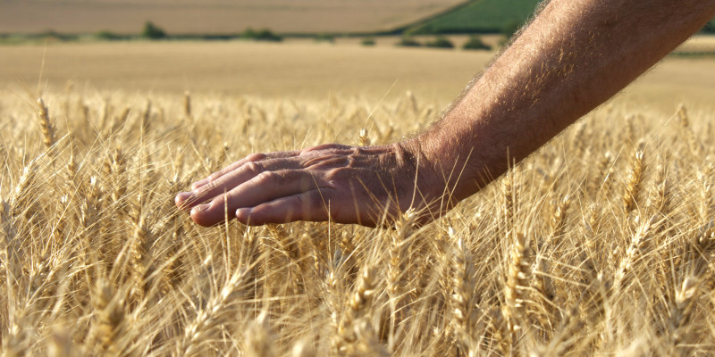 a hand protects crops on a field