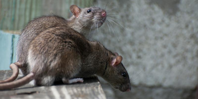 zwei Ratten