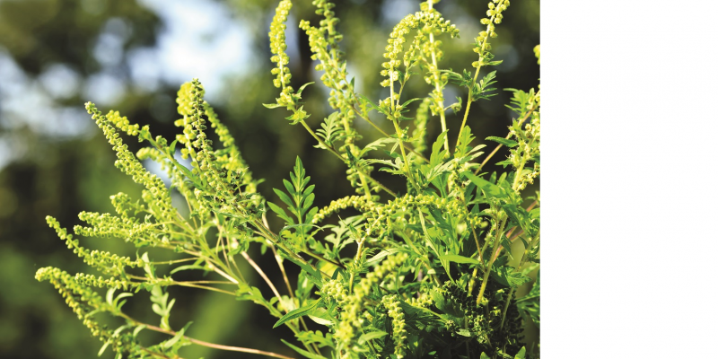 The image shows a close-up of a blooming ragweed plant.