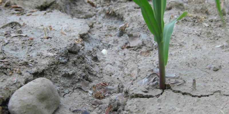 Abgeschwemmter Boden und Erosionsrinne unter junger Maiskultur.