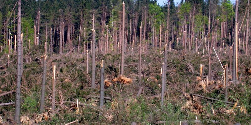 Blick in eine durch Sturmschaden betroffene Nadelholzfläche mit umgestürzten Bäumen.